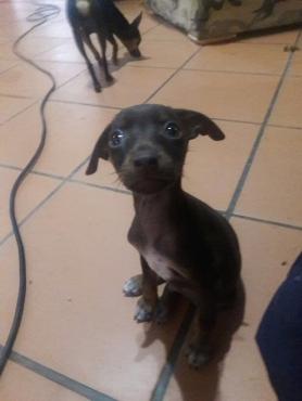 Miniature pinscher x ( bokkie hond x)