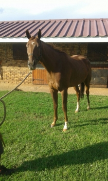 tb horses for sale