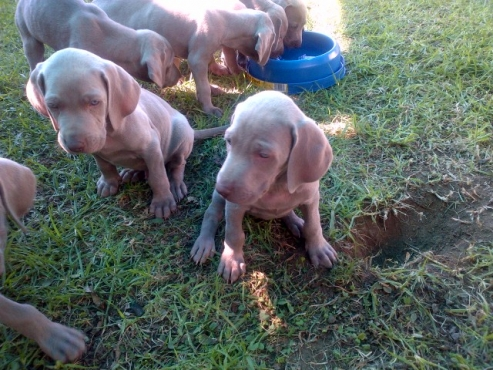 Beautiful Weieraner Puppies