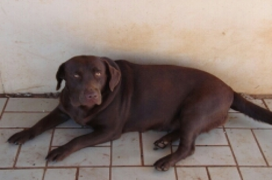 purebred Labrador chocolate and black pups