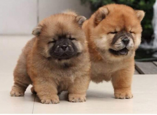 Chow Chow Puppies | www.pixshark.com - Images Galleries ...