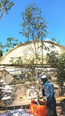 Betula pendula alba (Silver birch) for sale in bag