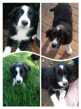 Bordercollie puppies for sale