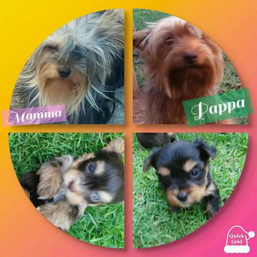 Yorkshire Terrier puppies (Yorkies)