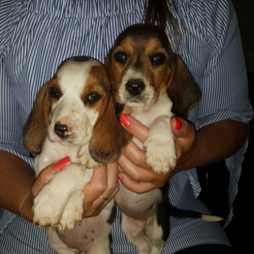 Beagle cross puppies