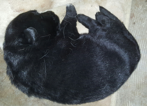 German shephed puppies for sale