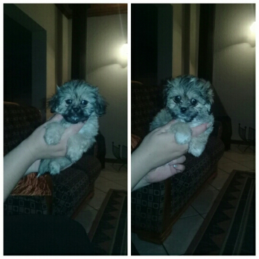 Pekipoodle pups for sale