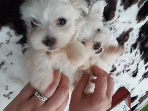 Beatiful pure bred maltese puppies