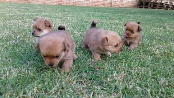 Beautiful Yorkie-pom Puppies
