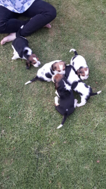 thoroughbred Bassett hound pups