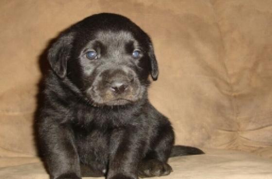 purebred Labrador black pups