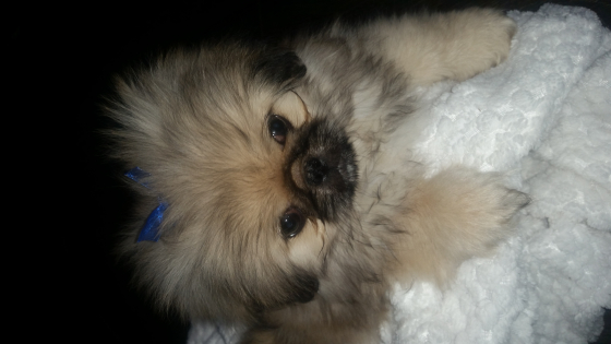 Beautiful Pekingese male puppy for sale