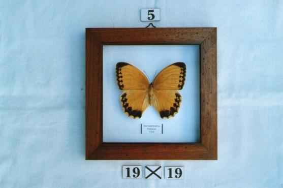 Real framed butterflies ( each)