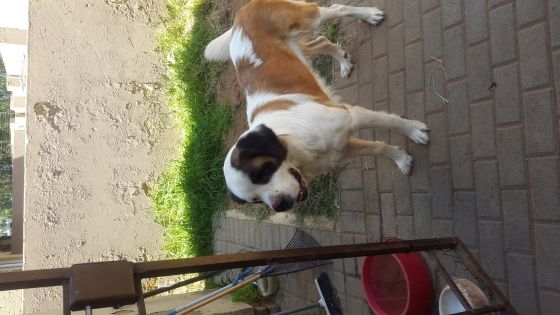 St. Bernard looking for a caring  home