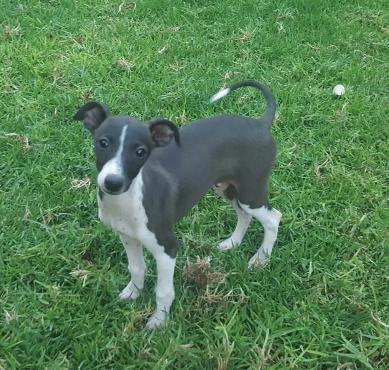 Italian Greyhound Puppies Registered