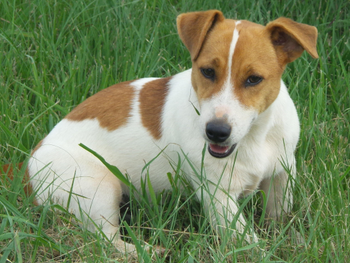 Jack Russell male