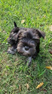 Gorgeous Miniature Schnauzer puppy available