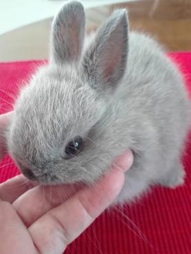 Angora dwarf rabbit