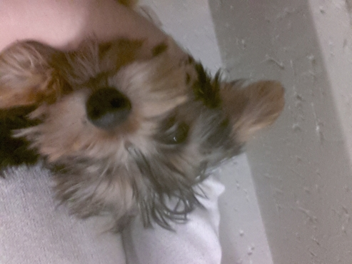 Cute yorkie puppies on special