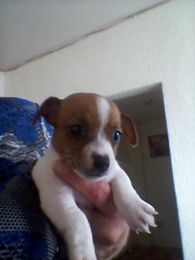 Female Jack Russel Puppies