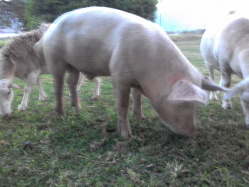 2 pig and 5 white Dorper for sale