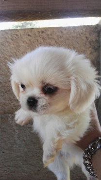 Pekignese puppies for sale