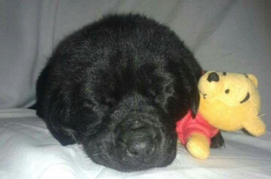 Pure Bred Black Labrador Puppys For Sale