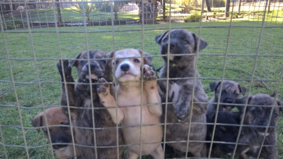 Alsation Breed Puppies for sale
