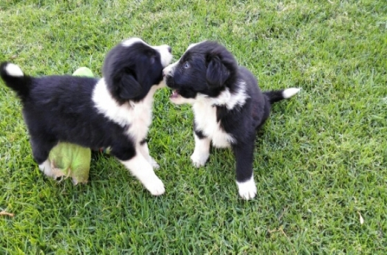 BorderCollie Skaaphone puppies available