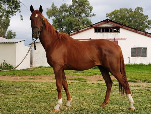 Arabian Gelding for Sale - Anak Mister