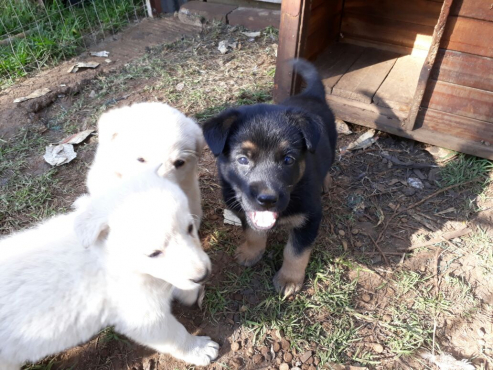 German Shephard Puppies for Sale