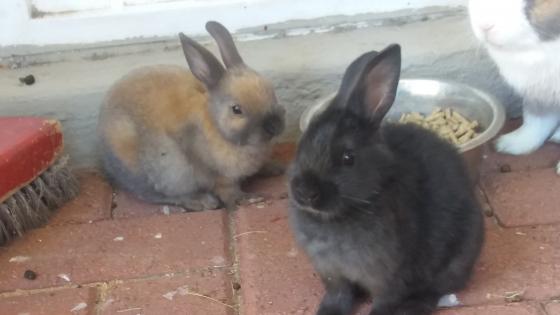 dwarf bunnies/dwerg hasies 8 weke