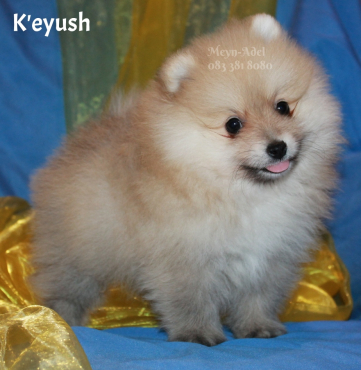 Small Pomeranian / Toy Pom Puppies for sale