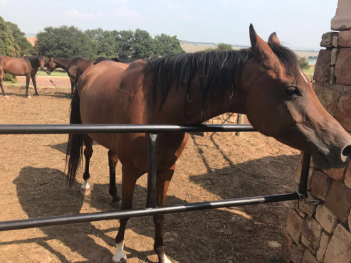 5 Year Old Male Horse For Sale