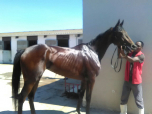 R3800 - Off Track TB Mare by Black Minnaloushe