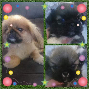 MiniaturePekingesePuppies