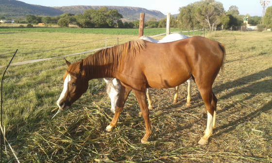 Arab Mares for sale