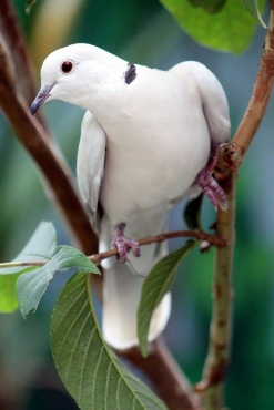 Laughing doves