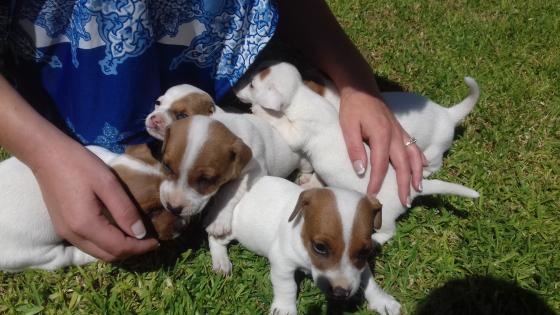jackrussel puppys