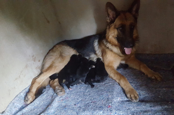 Stunning Pedigreed German Shepherd Puppies for sale