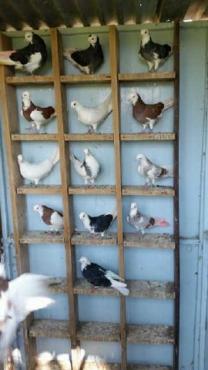 Ken whites roller duiwe