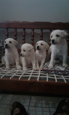 Adorable pedigreed Labrador puppies