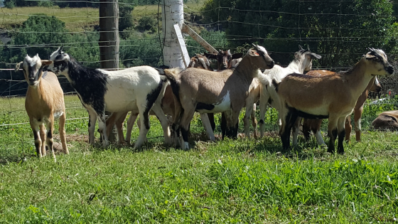 Pure Nguni Mbuzi Zulu castrated goat rams