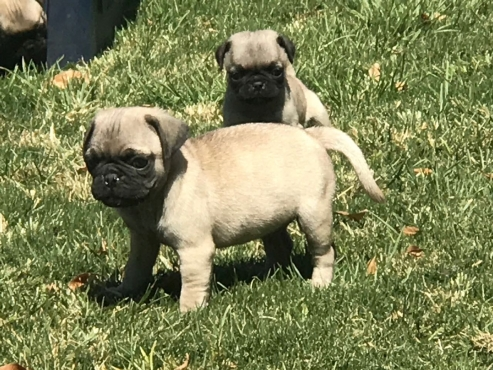 Pure  Bred  Pug  pups