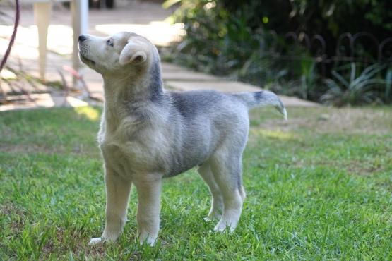 1 Male Husky Brooklyn Pretoria