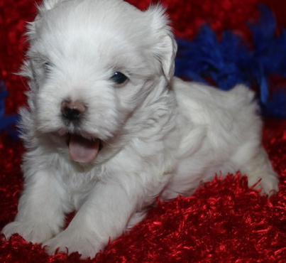 adorable maltese for sale