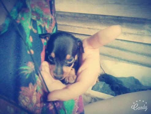 Min.dobbermans pups