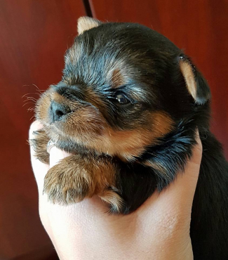 REGISTERED YORKSHIRE TERRIER PUPS FOR SALE