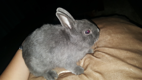 Loving 7 month old Netherland Dwarf Rabbit looking for a new home
