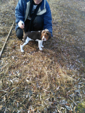Beagle Puppies Looking for a Home